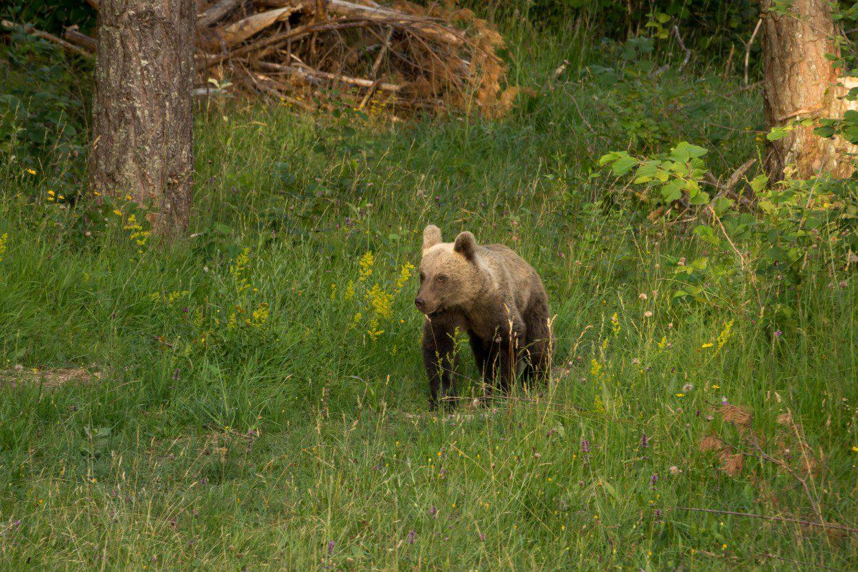 Bear cub in Slovenia