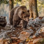 Mama bear with her cub in woods walking on rocks