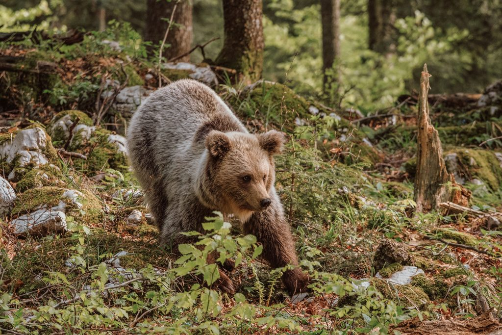 Brown bear cub in the woods