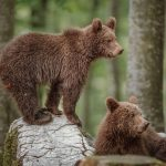 Two brown bear cubs on a rock posing