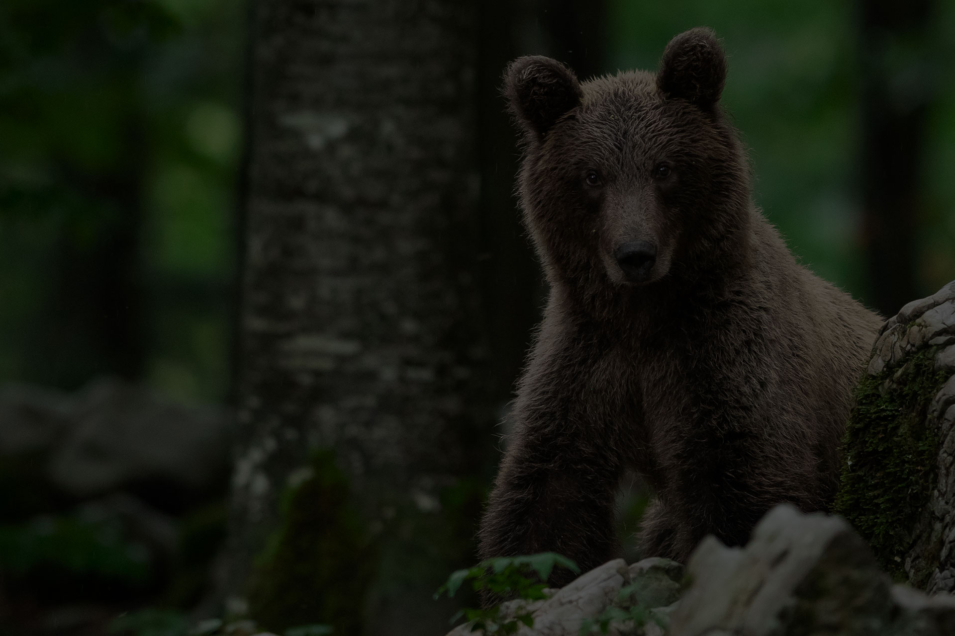 Bear Watching Slovenia