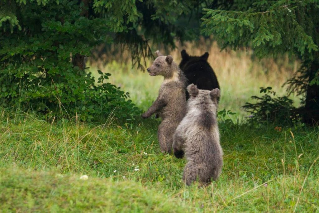 Family of bears from hideout in Slovenia