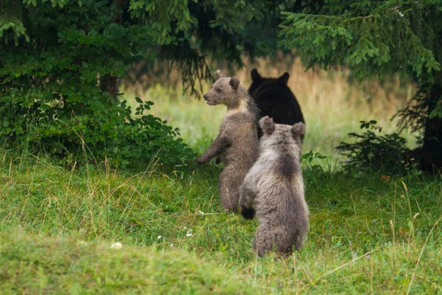 Bear Watching in Slovenia