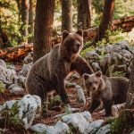 Brown bear in woods with her cub and some trees