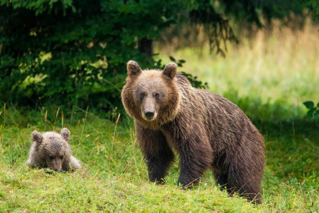 Brown Bear in Slovenia with cub