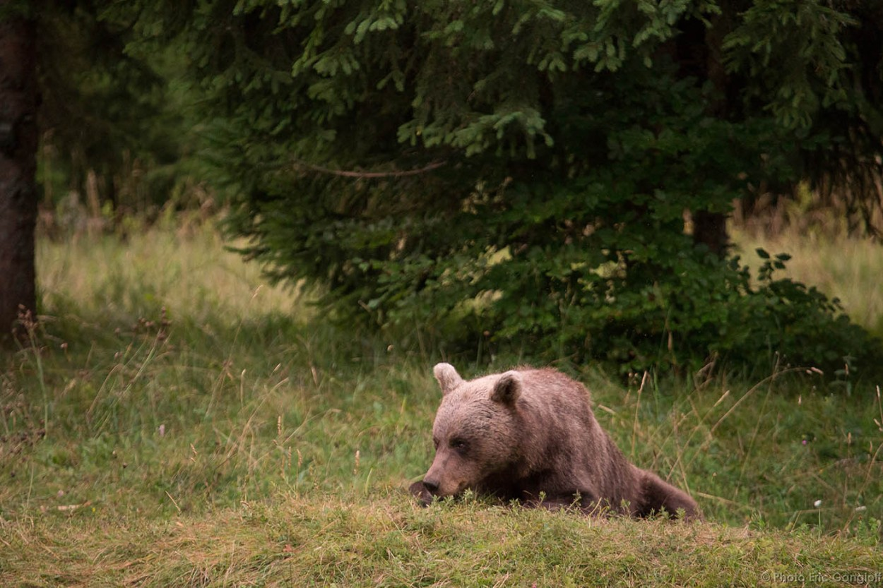 Brown Bear while resting in Slovenia