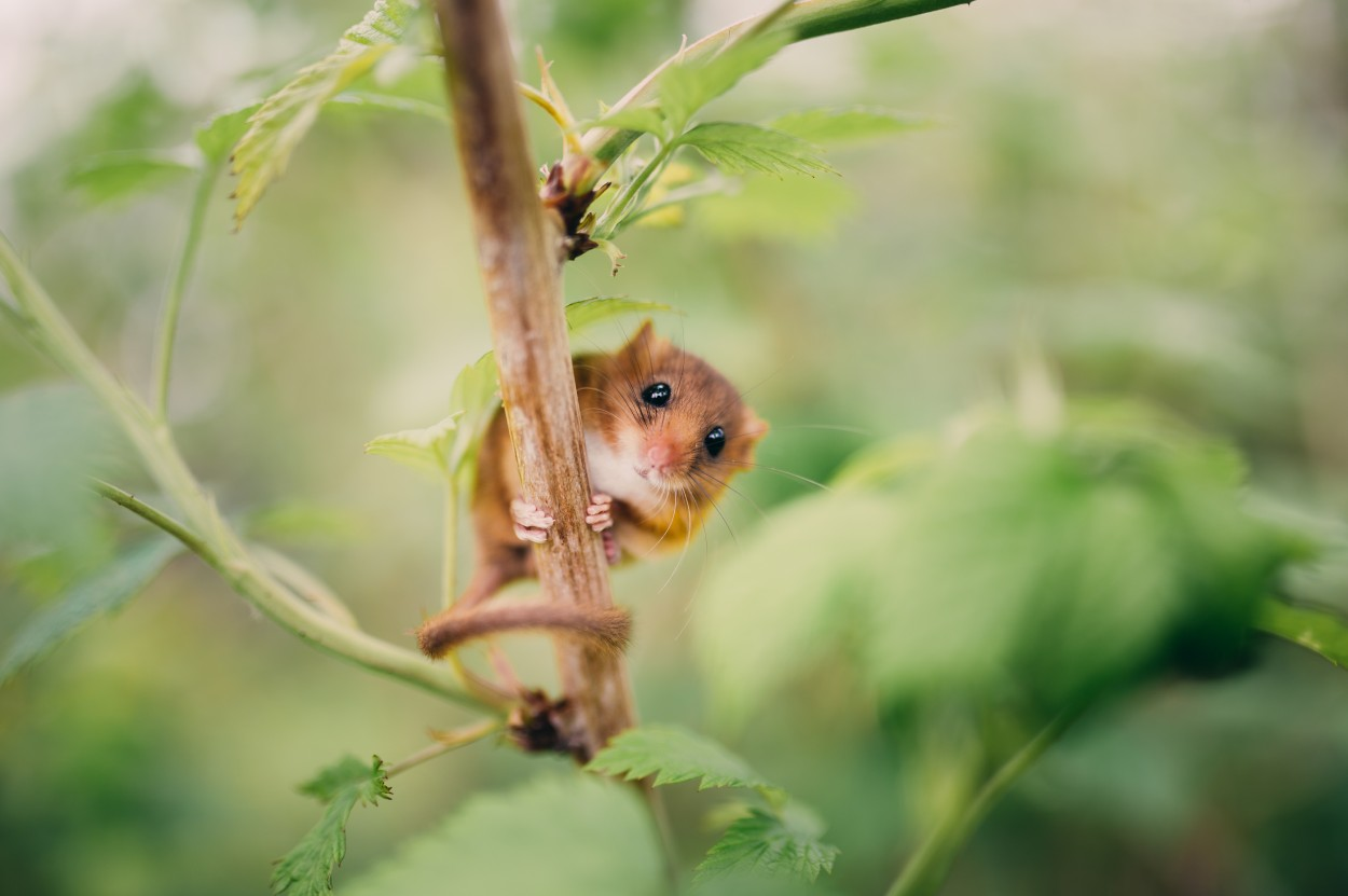 Dormouse on the tree branch