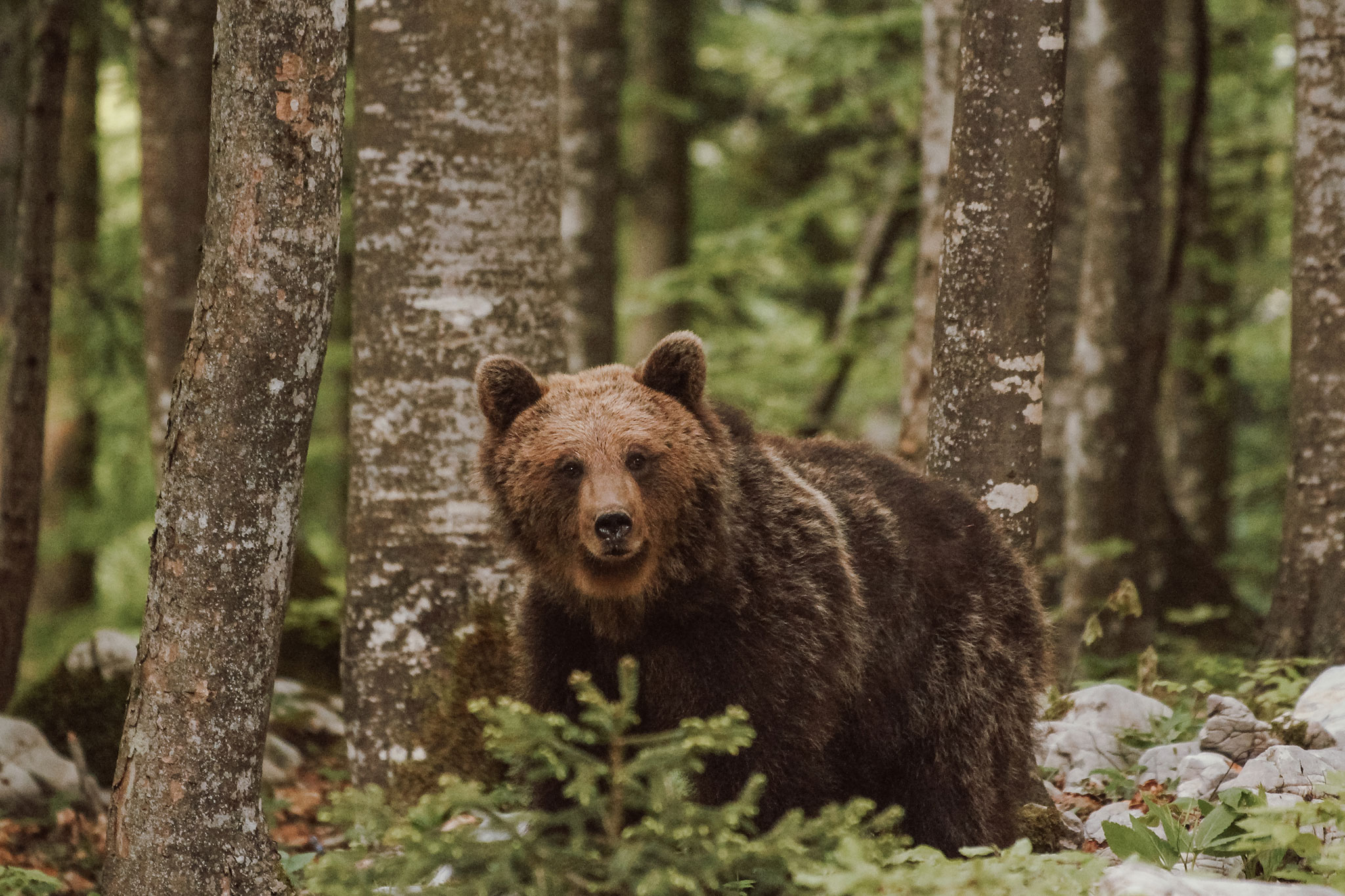 Brown bear mother in woods